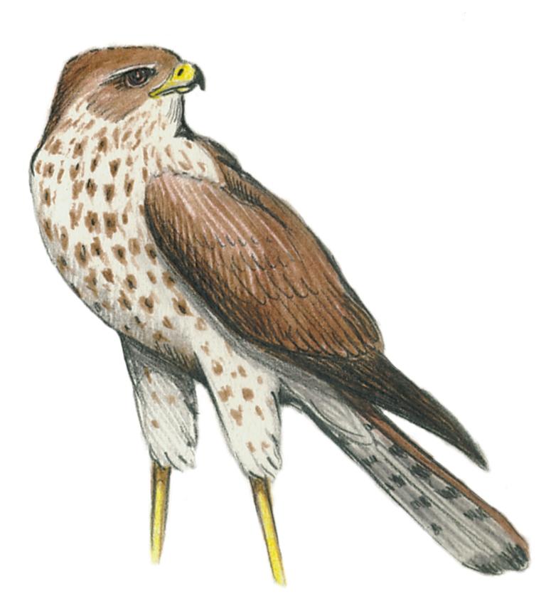 Sve ptice Srbije Javor Rasajski ptica (2)
