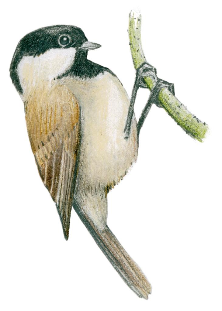 Sve ptice Srbije Javor Rasajski ptica (21)