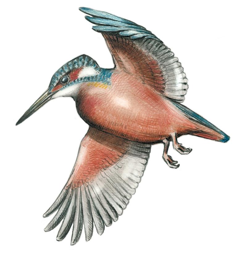 Sve ptice Srbije Javor Rasajski ptica (4)