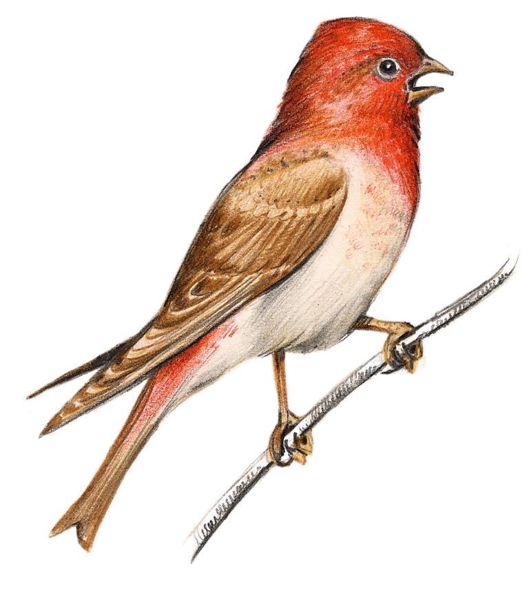 Sve ptice Srbije Javor Rasajski ptica (9)